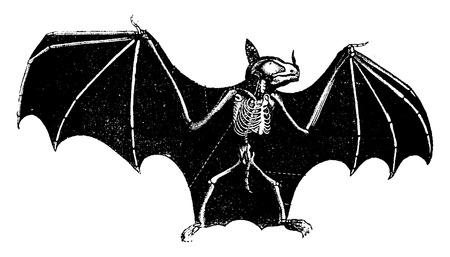 murcielago: Esqueleto del palo, cosecha ilustraci�n grabada. Historia Natural de los Animales de 1880.
