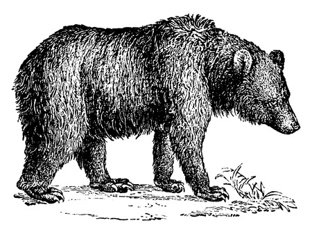 Brown bear, vintage engraved illustration. Natural History of Animals, 1880. Ilustração