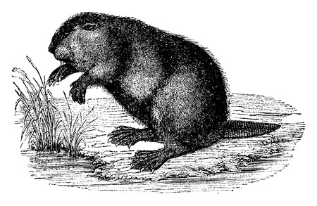 semi aquatic: Beaver, vintage engraved illustration. Natural History of Animals, 1880.
