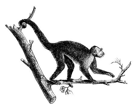 primate biology: Sajou white throat, vintage engraved illustration. Natural History of Animals, 1880.
