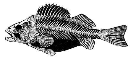 esqueleto: Esqueleto de la perca, ilustraci�n de la vendimia grabado. Historia Natural de los Animales, 1880. Vectores