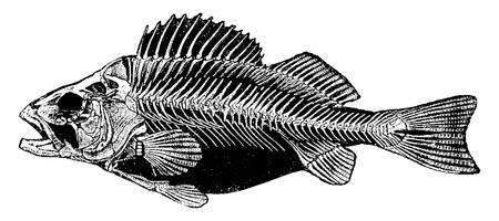 Skelet Perch, vintage gegraveerde illustratie. Natural History of Animals, 1880.