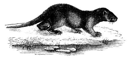 loutre: Otter, mill�sime grav� illustration. Histoire naturelle des animaux, 1880.