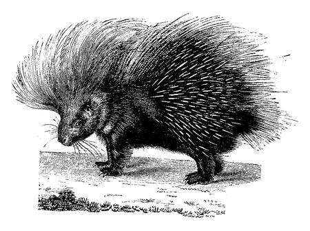 ヤマアラシ、ヴィンテージには、図が刻まれています。1880、動物の自然史. 写真素材 - 41789174