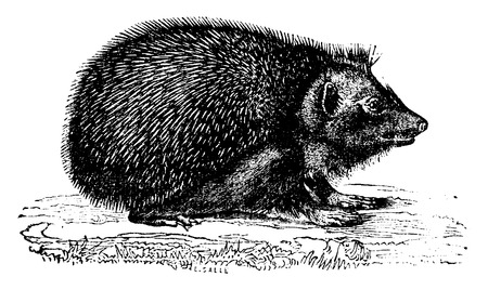spiny: Hedgehog, vintage engraved illustration. Natural History of Animals, 1880.