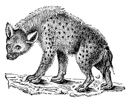 hienas: Las hienas o hienas, ilustración de la vendimia grabado. Historia Natural de los Animales, 1880.