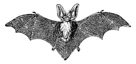 bate: Gris murciélago orejudo, ilustración de la vendimia grabado. Historia Natural de los Animales, 1880.