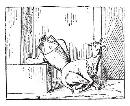 kid goat: A young goat, vintage engraved illustration.
