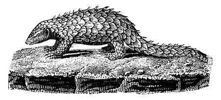 com escamas: Pangolin ou escamosa tamandu Ilustra��o