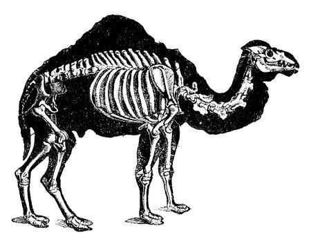 Kameel skelet, vintage gegraveerde illustratie. Natural History of Animals, 1880.
