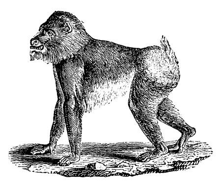 mandril: Babuino de Mandrill, ilustraci�n de la vendimia grabado. Historia Natural de los Animales, 1880.