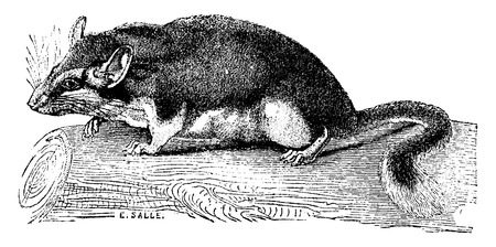 dormouse: Dormouse, vintage engraved illustration. Natural History of Animals, 1880.