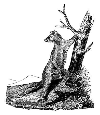 opossum: Opossum, vintage engraved illustration. Natural History of Animals, 1880. Illustration