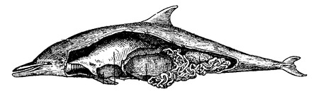 cetacean: Dolphin, vintage engraved illustration. Natural History of Animals, 1880.