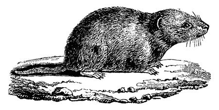 vole: Common vole, vintage engraved illustration. Natural History of Animals, 1880. Illustration