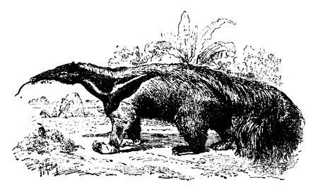 anteater: Anteater, vintage engraved illustration. Natural History of Animals, 1880.