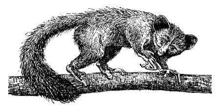 primate biology: Aye-aye or daubentonia madagascariensis, vintage engraved illustration. Natural History of Animals, 1880.