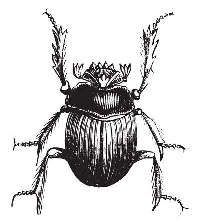 Beetle (or Atheist the Egyptians), vintage engraved illustration. Natural History of Animals, 1880. Illustration