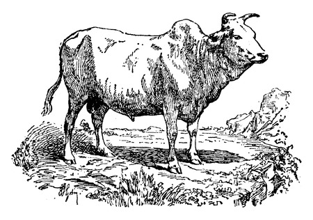 Zebu or Humped cattle or Brahman, vintage engraved illustration. Natural History of Animals, 1880. Illustration