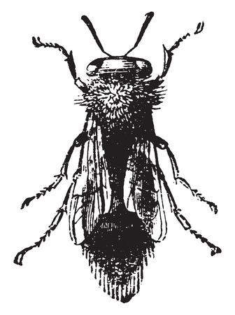abeja reina: Abeja reina, ilustraci�n de la vendimia grabado. Historia Natural de los Animales, 1880.