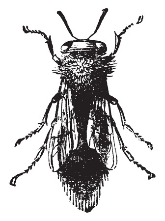 queen bee: Queen bee, vintage engraved illustration. Natural History of Animals, 1880. Illustration
