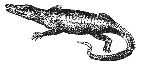 herpetology: Crocodile, vintage engraved illustration. Natural History of Animals, 1880.