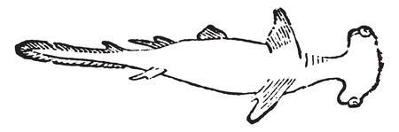 hammerhead shark: Hammer, ilustración de la vendimia grabado. Historia Natural de los Animales, 1880.