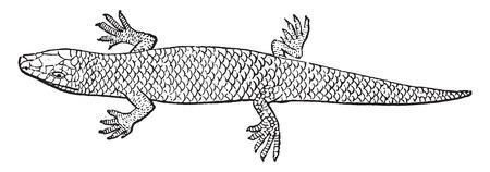 herpetology: Skink, vintage engraved illustration. Natural History of Animals, 1880.