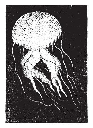 Medusa (Pelagia), vintage engraved illustration. Natural History of Animals, 1880.