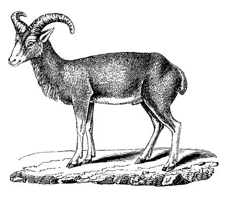 mouflon: Mouflon, vintage engraved illustration. Natural History of Animals, 1880.