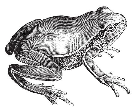 herpetology: Frog, vintage engraved illustration. Natural History of Animals, 1880.