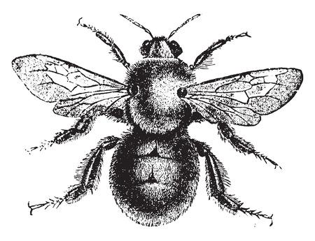 fondo blanco y negro: Bumblebee, ilustración de la vendimia grabado. Historia Natural de los Animales, 1880. Vectores