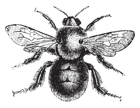 bombus: Bumblebee, vintage engraved illustration. Natural History of Animals, 1880.