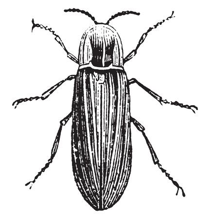 glowworm: Lampyre male, vintage engraved illustration. Natural History of Animals, 1880. Illustration