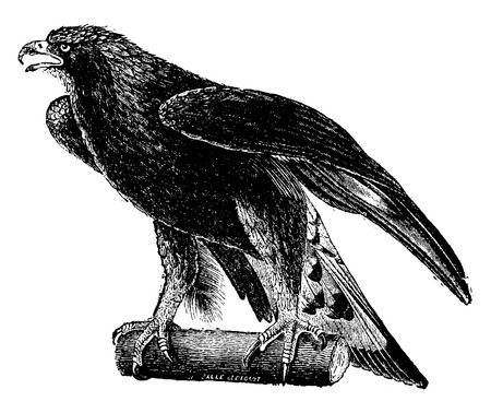 perched: Golden eagle, vintage engraved illustration. Natural History of Animals, 1880.
