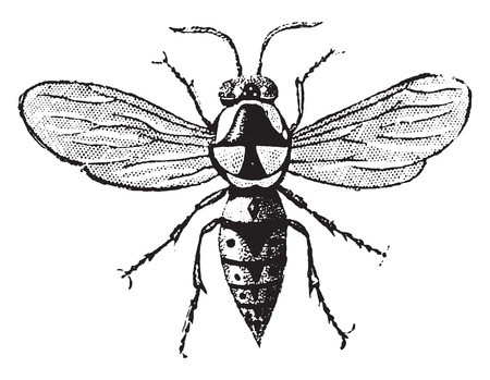 Wasp cartonboard, vintage engraved illustration. Natural History of Animals, 1880. Ilustrace