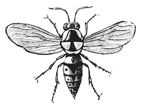 apocrita: Wasp cartonboard, vintage engraved illustration. Natural History of Animals, 1880. Illustration
