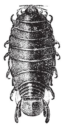 crustacea: Anilocra, vintage engraved illustration. Natural History of Animals, 1880. Illustration