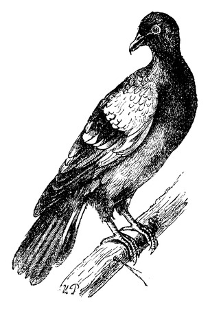 white pigeon: Rock dove or Rock pigeon, vintage engraved illustration. Natural History of Animals, 1880.