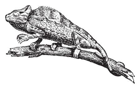 카멜레온 또는 chamaeleon, 빈티지 새겨진 그림. 동물의 자연사, 1880 일러스트