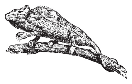 herpetology: Chameleon or chamaeleon, vintage engraved illustration. Natural History of Animals, 1880. Illustration