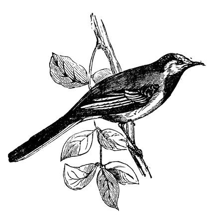 Wagtail Vintage Engraved Illustration Natural History Of Animals 1880
