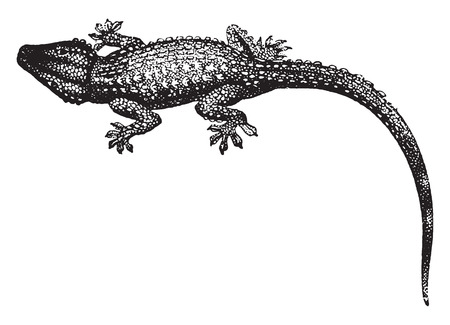 crawling: Gecko walls, vintage engraved illustration. Natural History of Animals, 1880.