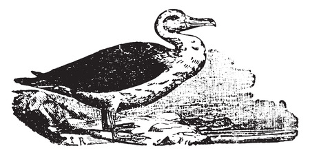 albatross: Albatross, vintage engraved illustration. Natural History of Animals, 1880.