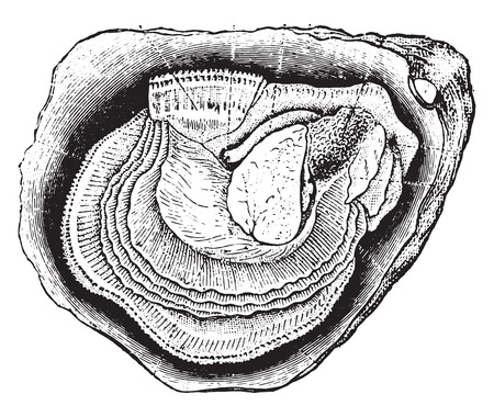 clam illustration: Anatomy of the oyster, vintage engraved illustration. Natural History of Animals, 1880.