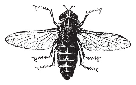 Gadfly, vintage engraved illustration. Natural History of Animals, 1880. Vectores