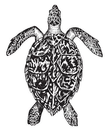 Hawksbill turtle, vintage engraved illustration. Natural History of Animals, 1880.