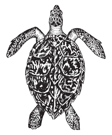 herpetology: Hawksbill turtle, vintage engraved illustration. Natural History of Animals, 1880.