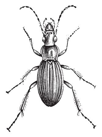 Insect of the genus Carabus, vintage engraved illustration. Natural History of Animals, 1880.