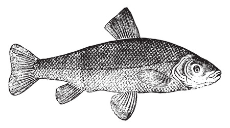 tench: Tench or doctor fish, vintage engraved illustration. Natural History of Animals, 1880.